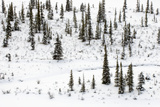 Snow-Covered Trees on a Small Island in the Athabasca River