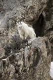 A Mountain Goat  Oreamnos Americanus  Atop a Rocky Outcrop
