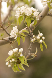 The Blossoms of Fruit Trees in Great Basin National Park