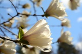 Backlit Magnolia Flowers  in Spring