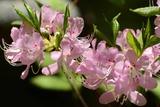 Close Up of Pink Azalea Flowers