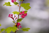 A Red-Flowering Currant  Ribes Sanguineum
