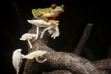 Portrait of a Gliding Tree Frog  Agalychnis Spurrelli  with Mushrooms