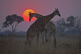 Two Giraffes Grazing with the Sun Setting in the Distance