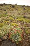 Succulent Plants Grow on Santa Cruz Island at Cavern Point