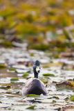 A Mallard  Anas Platyrhynchos  Floats Among Lily Pads