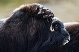 The Enormous Shoulder Hump and Thick Fur of the Musk Ox