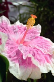 Close Up of a Large Hibiscus Flower  Edna Bogart Variety