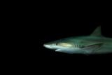 A Blacknose Shark  Carcharhinus Acronotus  at the Dallas World Aquarium