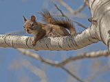 An American Red Squirrel  Tamiasciurus Hudsonicus  Perches on a Branch of an Aspen Tree