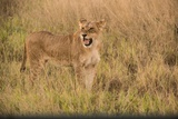 A Lioness in Tall Grasses Snarling or Displaying Flehmen Behavior