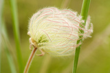 Prairie Smoke  Geum Triflorum  Growing in Okanagan Valley