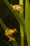 A Male Hourglass Tree Frog  Dendropsophus Ebraccatus  Calls to a Female on a Blade of Grass Below