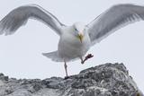 A Glaucous Gull  Larus Hyperboreus  on a Rock Near its Nest