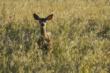 A Mule Deer  Odocoileus Hemionus  Stands in a Grass Field