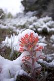Desert Paintbrush  Castilleja Chromosa  Plants Beneath Newly Fallen Snow  Wheeler Peak Scenic Drive