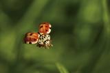 A Ladybug  Coccinella Septempunctata  in Flight