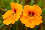 Bright Orange Nasturtium Flowers