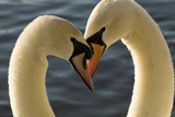 A Pair of Mute Swans  Cygnus Olor  Engage in a Courtship Display