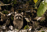 A Common Raccoon  Procyon Lotor  in a Forest