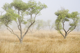 Fog Drifts Among Olive Trees in a Grassy Field