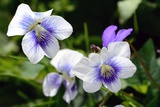 A Cluster of Wild Violets on a Spring Day