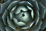 An Agave Plant