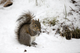 Portrait of an Eastern Gray Squirrel  Sciurus Carolinensis  Eating Corn on a Winter Day