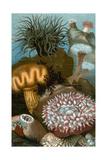 European Sea Anemones