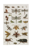 Insects  Seba's Thesaurus  1734