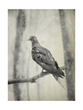 Martha  Last Known Passenger Pigeon