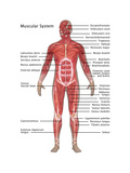 Muscular System in Male Anatomy