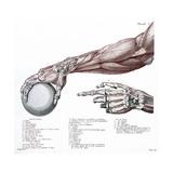 Arm  Anatomy  Salvage Illustration  1812