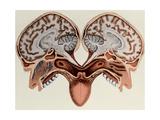 Human Head  cross section