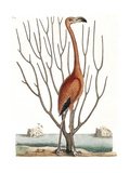 Flamingo with Keratophyton Plant  1731