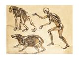 Skeletons of Man  Ape  Bear  1860