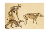 Skeletons of Man  Dog  Wild Boar  1860