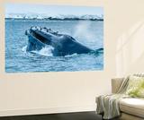 Humpback Whales Lunge Feeding Near Paradise Harbor  Antarctica