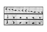 Muybridge Locomotion  Pigeon In Flight  1881