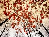 Branches nues et feuilles d'érable rouge poussant le long de la route Reproduction d'art par Raymond Gehman