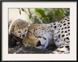 Cheetah (Acinonyx Jubatus) Mother and Seven Day Old Cub  Maasai Mara Reserve  Kenya