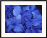 Close View of Blue Hydrangea Flowers  Cape Cod  Massachusetts