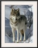 A Lone Female Gray Wolf Watching