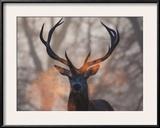 Portrait of a Red Deer Buck  Cervus Elaphus  in Winter