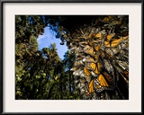 Monarch Butterflies Cover Every Inch of a Tree in Sierra Chincua