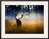 A Red Deer Buck  Cervus Elaphus  Comes Out from the Forest
