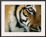 Close View of an Indian Tiger