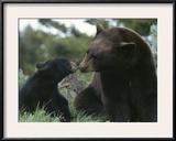 Captive American Black Bear and Cub