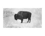 Bison Reproduction d'art par Trent Foltz