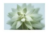 Soft Focus Succulent 2